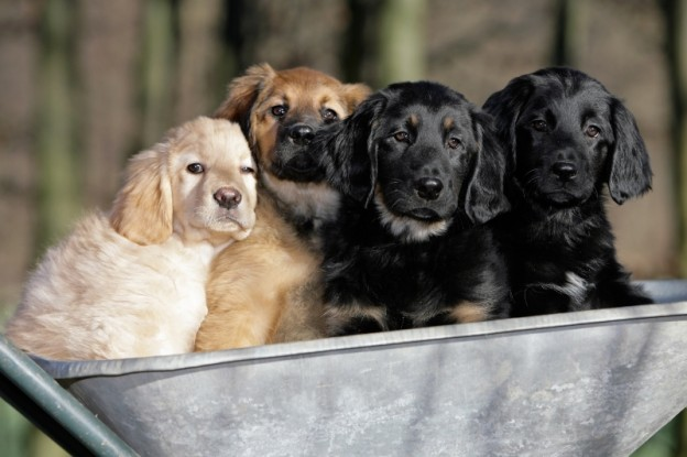 906911-puppies-together