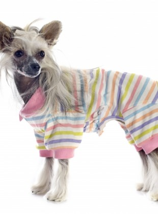 dressed-chinese-crested-dog